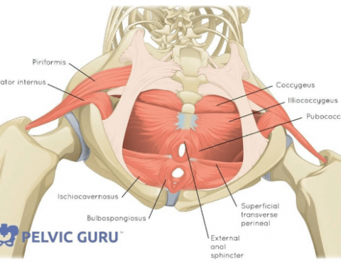 Muscles in the Pelvic Floor